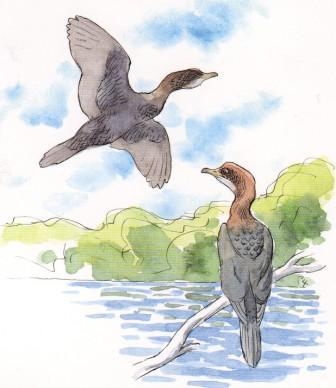 Λαγγόνα phalacrocorax pygmaeus